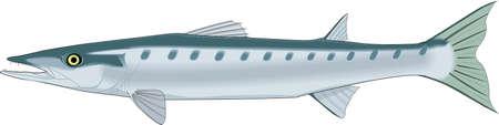 Barracuda Illustration.