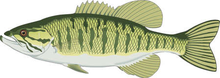 Mouth bass illustration.
