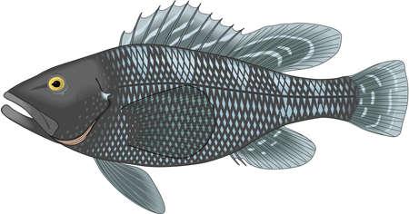 Black sea bass illustration.