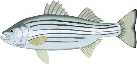 Striped bass illustration.