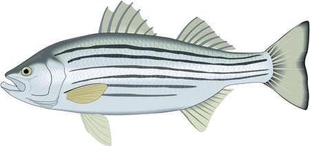 Striped bass illustration. 免版税图像 - 83916116