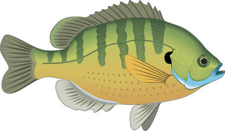 bluegill: Bluegill illustration.