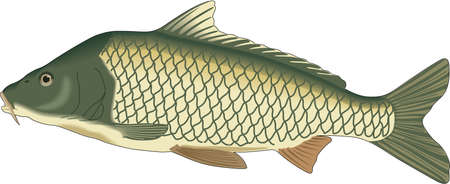 鯉の図。  イラスト・ベクター素材
