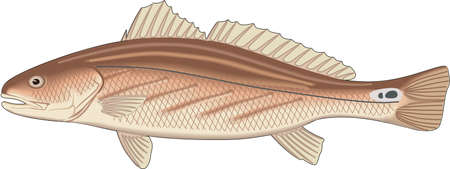 Channel bass illustration.