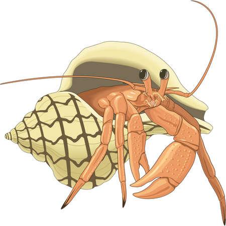 Hermit crab illustration.