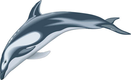 Pacific white sided dolphin illustration.