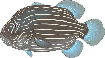Six lined grouper illustration. Çizim