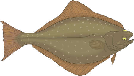 halibut: Halibut illustration. Illustration