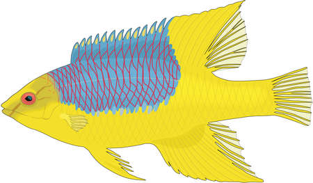 Spanish hogfish illustration.