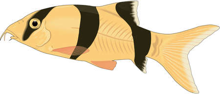 Clown loach illustration.