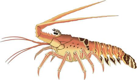 Spiny lobster illustration. Illustration