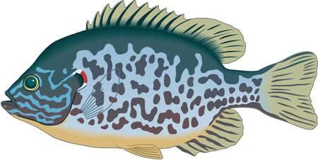 Pumpkinseed Illustration