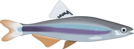 Sailfin Shiner Minnow Illustration