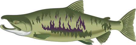 Chum Salmon Illustration