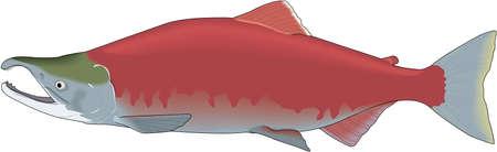Sockeye Salmon Illustration 版權商用圖片 - 83943156