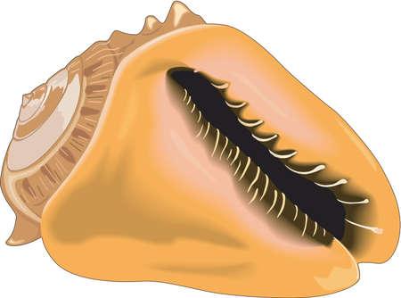 Queen Helmet Shell Illustration