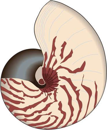 Nautilus Illustration