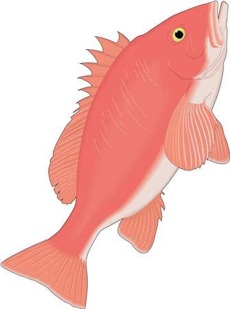 Red Snapper Illustration