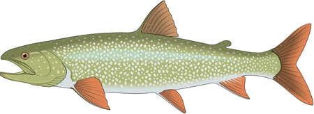 Lake Trout Illustration