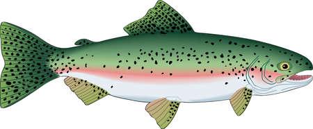 Rainbow Trout Illustration Illustration