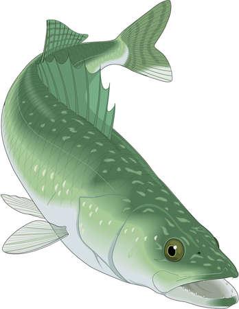 Walleye Illustration 向量圖像