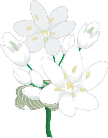 ネギ ナポリの図  イラスト・ベクター素材