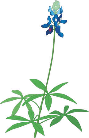 Blue Bonnet Lupine Illustration