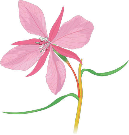 leaved: Broad Leaved Willow Herb Illustration
