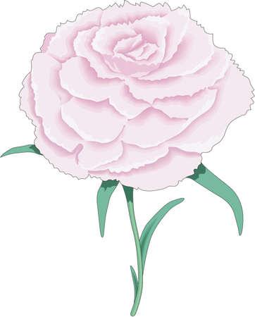 Pink Carnation Illustration