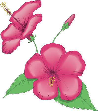 China Rose Illustration