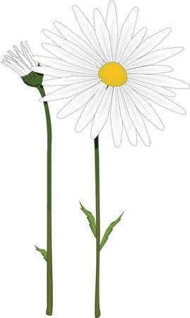 Oxeye Daisy Illustration Stock fotó - 83947663