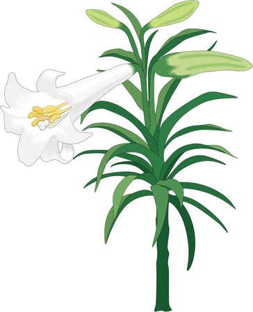 Easter Lily Illustration