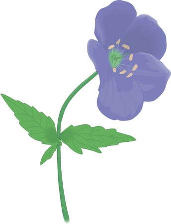 Wild Geranium Illustration