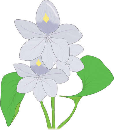 Water Hyacinth Illustration