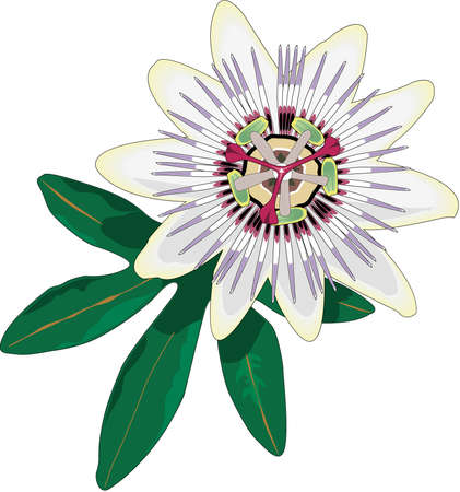 Passion Flower Illustration Çizim