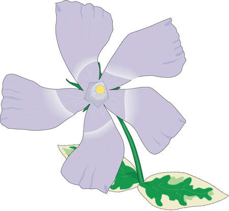 Greater Periwinkle Illustration