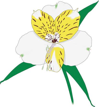 Peruvian Lily Illustration