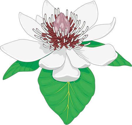 Japanese Magnolia Illustration