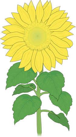 Sunflower Illustration.