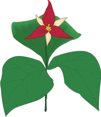 Trillium Illustration