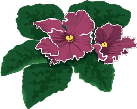 African Violet Illustration