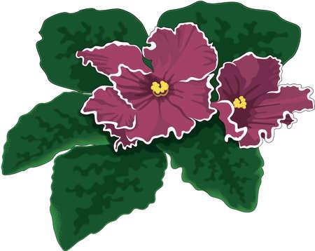 African Violet Illustration