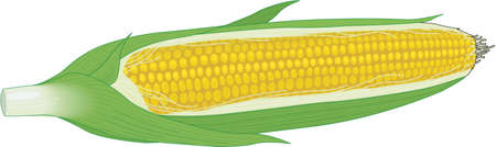 Corn on the Cob Illustration Illustration
