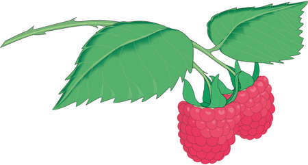 Raspberries Illustration Ilustração