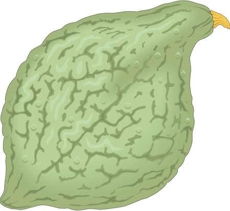 Hubbard Squash Illustration