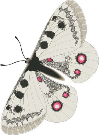 Apollo Butterfly Illustration