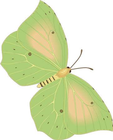 Kleopatra Schmetterling Illustration Standard-Bild - 84002535
