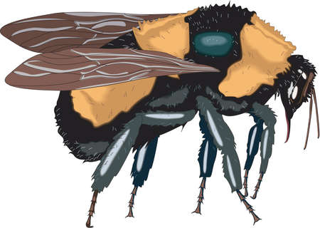 Bumblebee Illustration Ilustrace