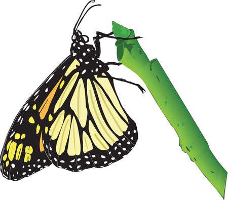 モナーク蝶の図