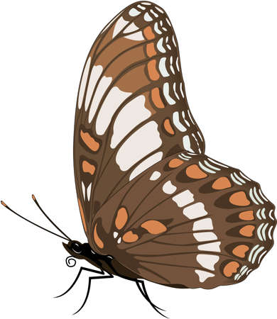 White Admiral Butterfly Illustration